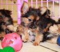 Chorkie puppies for sale in Georgia (19)