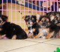 Chorkie puppies for sale in Georgia (3)