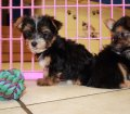 Chorkie puppies for sale in Georgia (7)