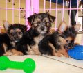 Chorkie puppies for sale in Georgia (9)
