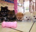 Pomeranian puppies for sale in Georgia near Atlanta (1)
