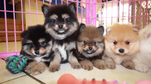 Gorgeous Pomeranian Puppies For Sale, Georgia Local Breeders, Near Atlanta, Ga