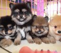Pomeranian puppies for sale in Georgia near Atlanta (2)