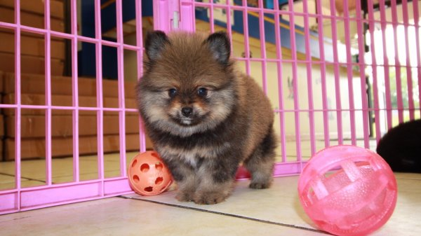Gorgeous Pomeranian Puppies For Sale Georgia Local Breeders Near Atlanta Ga At Puppies For