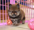 Pomeranian puppies for sale in Georgia near Atlanta (32)
