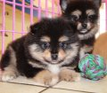 Pomeranian puppies for sale in Georgia near Atlanta (7)