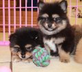 Pomeranian puppies for sale in Georgia near Atlanta (9)