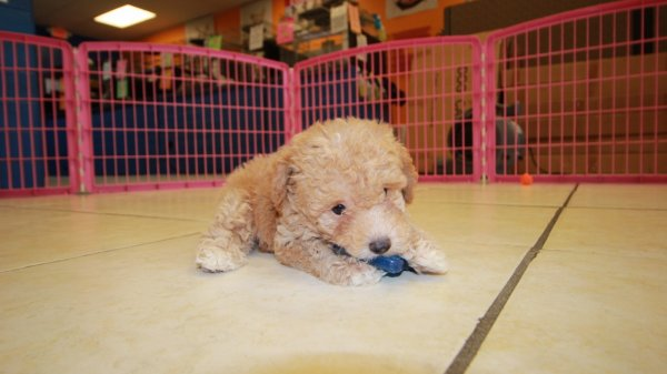 Image Result For Toy Poodles For Sale In Ga