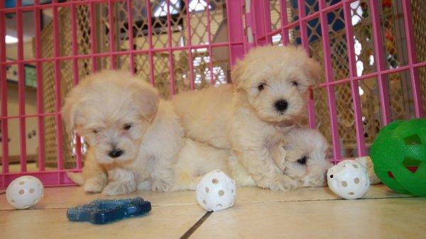 Beautiful Maltipoo Puppies For Sale, Georgia Local Breeders