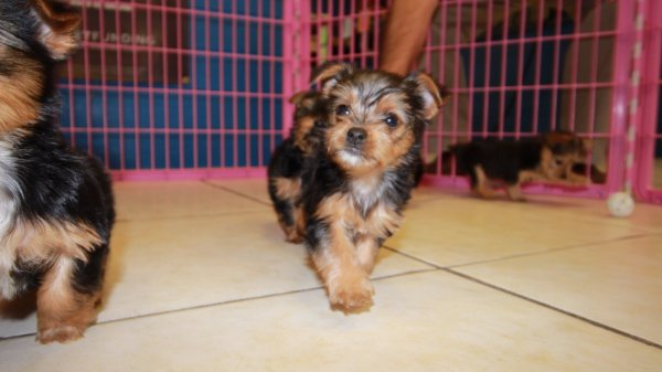 Cute Little Yorkie Terrier Puppies For Sale Georgia Local