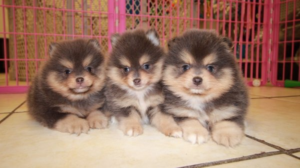Gorgeous Blue Pomeranian Puppies For Sale Georgia Local Breeders Near Atlanta Ga At Puppies
