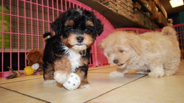 Adorable Cavapoo Puppies For Sale, Georgia Local Breeders