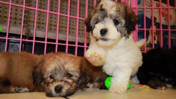 Adorable Havachon puppies for sale, Georgia Local Breeders