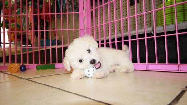 Gorgeous White Bichon Poo Puppies For Sale In Georgia At Puppies For Sale Local Breeders