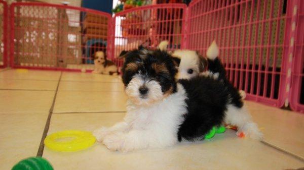 Morkie puppies for sale atlanta ga