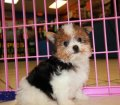 Morkie puppies for sale in georgia (14)