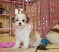 Morkie puppies for sale in georgia (3)