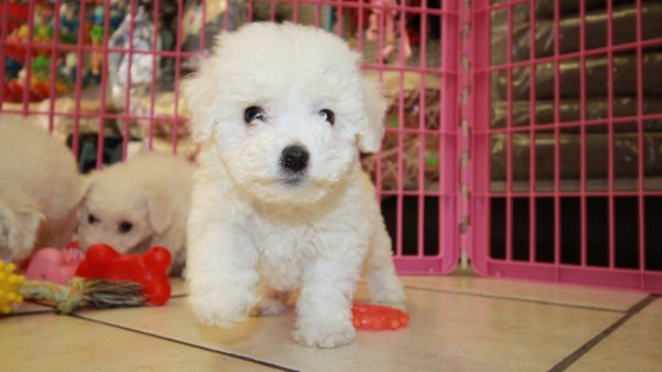 Cutest Bichon Frise Puppies For Sale, Georgia Local Breeders, Near Atlanta, Ga