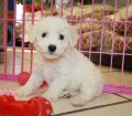 Bichon Frise puppies in Georgia (6)