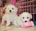 Bichon Frise puppies in Georgia (9)