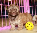 Shih Poo puppies for sale in Georgia (12)