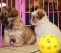 Shih Poo puppies for sale in Georgia (13)