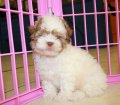 Shih Poo puppies for sale in Georgia (19)