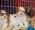 Shih Poo puppies for sale in Georgia (2)