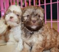 Shih Poo puppies for sale in Georgia (6)