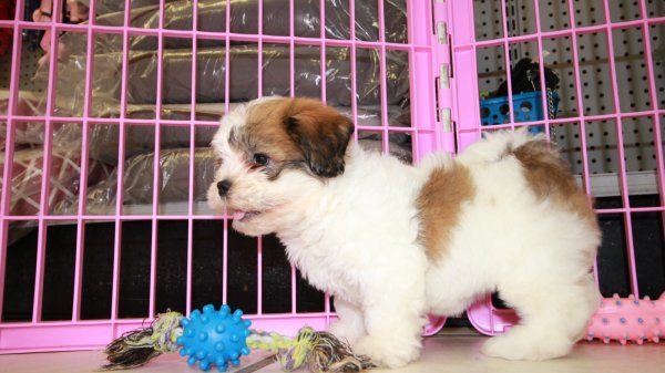 Beautiful Small Teddy Bear Puppies For Sale, Georgia Local