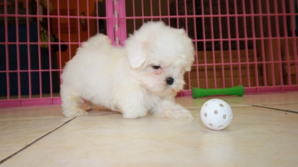Adorable Little Malti Tzu Puppies For Sale, Georgia Local Breeders, Near Atlanta, Ga