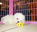 Malti Tzu puppies for sale in Georgia (29)