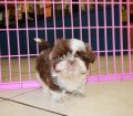 Shih Tzu puppies for sale in Georgia (1)