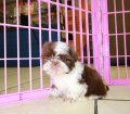 Shih Tzu puppies for sale in Georgia (23)