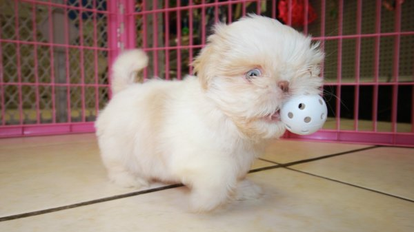 Beautiful Little Shih Tzu Puppies For Sale, Georgia Local Breeders, Near Atlanta, Ga