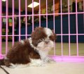 Shih Tzu puppies for sale in Georgia (7)