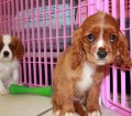Cavalier King Charles Spaniel puppies for sale in Georgia (17)
