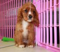 Cavalier King Charles Spaniel puppies for sale in Georgia (20)