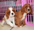 Cavalier King Charles Spaniel puppies for sale in Georgia (21)