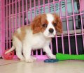 Cavalier King Charles Spaniel puppies for sale in Georgia (22)