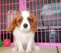 Cavalier King Charles Spaniel puppies for sale in Georgia (25)
