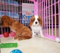 Cavalier King Charles Spaniel puppies for sale in Georgia (2)