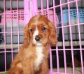 Cavalier King Charles Spaniel puppies for sale in Georgia (30)