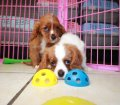 Cavalier King Charles Spaniel puppies for sale in Georgia (9)