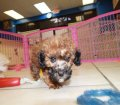 Toy Poodle puppies for sale in Georgia (10)
