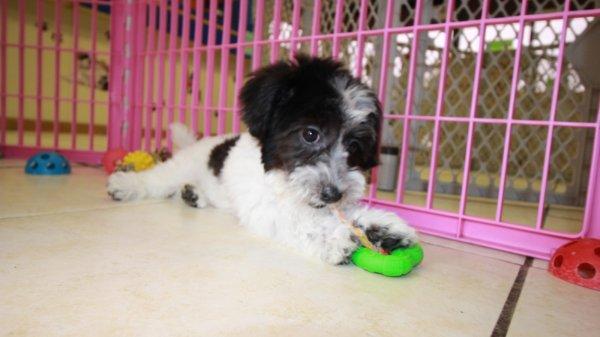 Black And White Coton De Tulear Puppies For Sale Georgia Local Breeders Near Atlanta Ga At