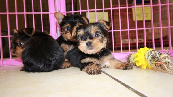 Pretty Yorkshire Terrier Puppies For Sale, Georgia Local Breeders, Near Atlanta, Ga