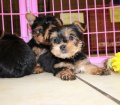 Teacup Yorkie puppies for sale in Georgia (1)
