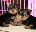 Teacup Yorkie puppies for sale in Georgia (3)