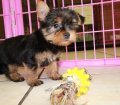 Teacup Yorkie puppies for sale in Georgia (5)